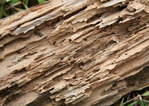 Termite-damaged wood showing rotting galleries outside of a Ancaster home
